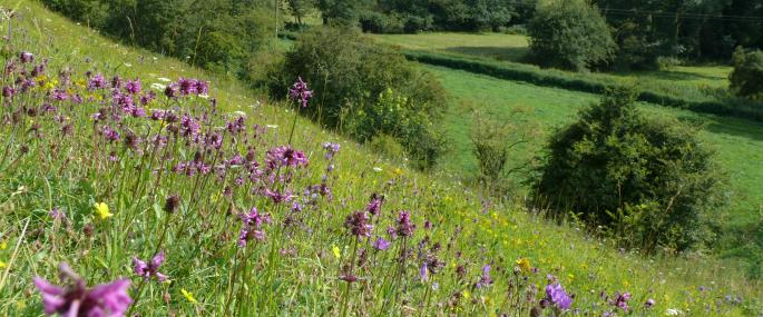 Orchids and other wildflowers abound in the steep meadows at Brockadale - Paul Simmons