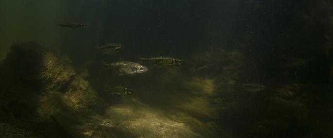 Underwater view of minnows - Jack Perks