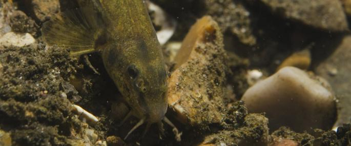 Underwater view of stone loach - Jack Perks
