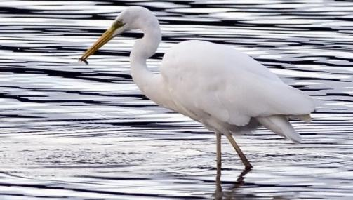 Great white egret by Damian Waters - Great white egret by Damian Waters