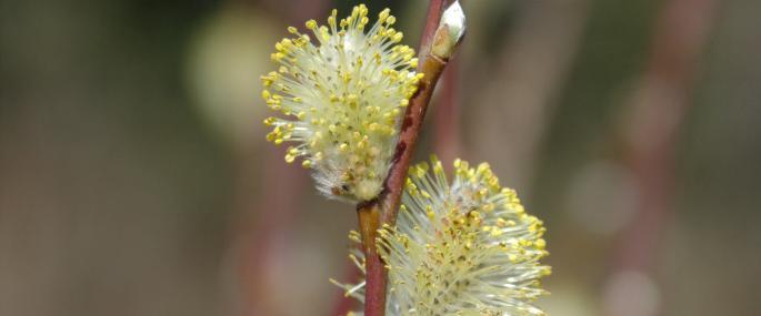 Grey willow - Andree Dubbeldam