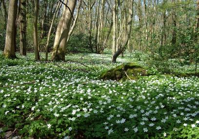 Blean Wood Wood Anenomes - Jill Batchelor