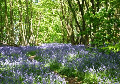 Bluebells in Parsonage Wood - Beth Hukins