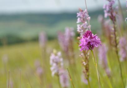 Fackenden Down pyramidal and fragrant orchids  - Beth Hukins