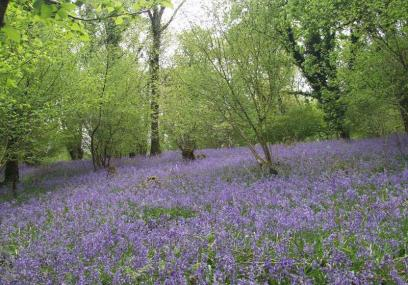 Bluebells in flower at Lady's Wood nature reserve - Devon Wildlife Trust
