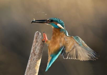 Kingfisher landing on a post with a fish in its beak - Tony Flashman