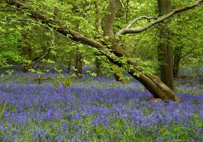 Prior's Wood bluebells - Ian Chambers