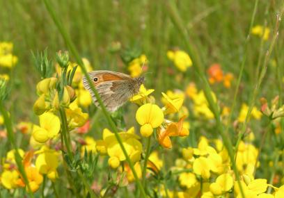 A small heath fritillary buttefly on yellow flowers in the grassland - Richard Moyse