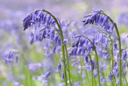Bluebells at South Blean - Beth Hukins