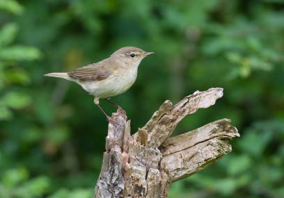 Stone Wood chiffchaff  - David Kilbey