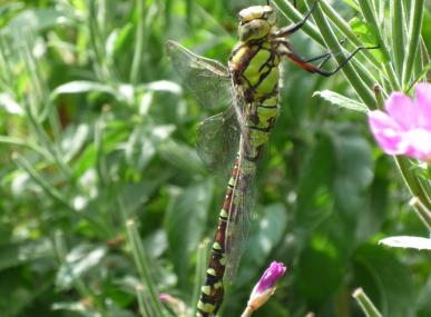 A southern hawker dragonfly at Turners Field - Matt Hayes