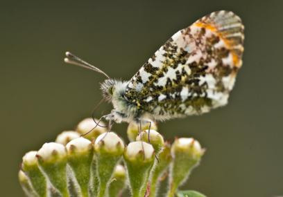 Orange tip butterfly - Bob Coyle