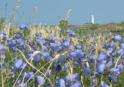 Hair bells at South Walney Nature Reserve -