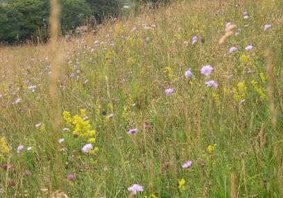 Wildflowers on Blow's Downs -