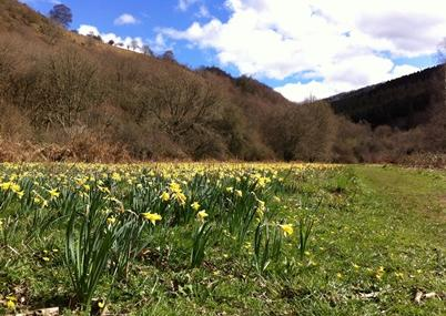 Wild daffodils at Dunsford -