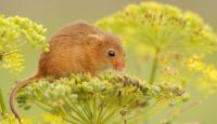 Photo of Harvest Mouse