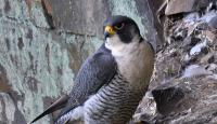Photo of Peregrine Falcon