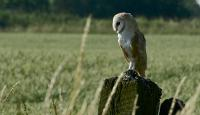 Photo of Barn Owl