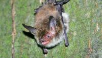 Photo of Bechstein's Bat