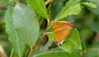 Photo of Brown Hairstreak