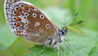 Photo of Common Blue