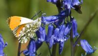 Photo of Orange-tip