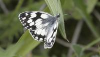 Photo of Marbled White