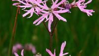 Photo of Ragged-Robin