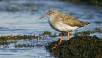 Photo of Redshank