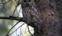Photo of Tawny Owl