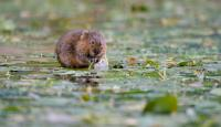 Photo of Water Vole