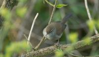 Photo of Cetti's Warbler