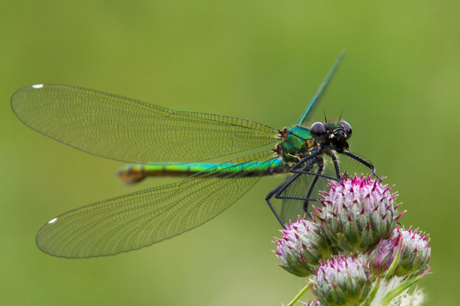 Beautiful Demoiselle Damselfly by Neil Bygrave at Dart Valley nature reserve