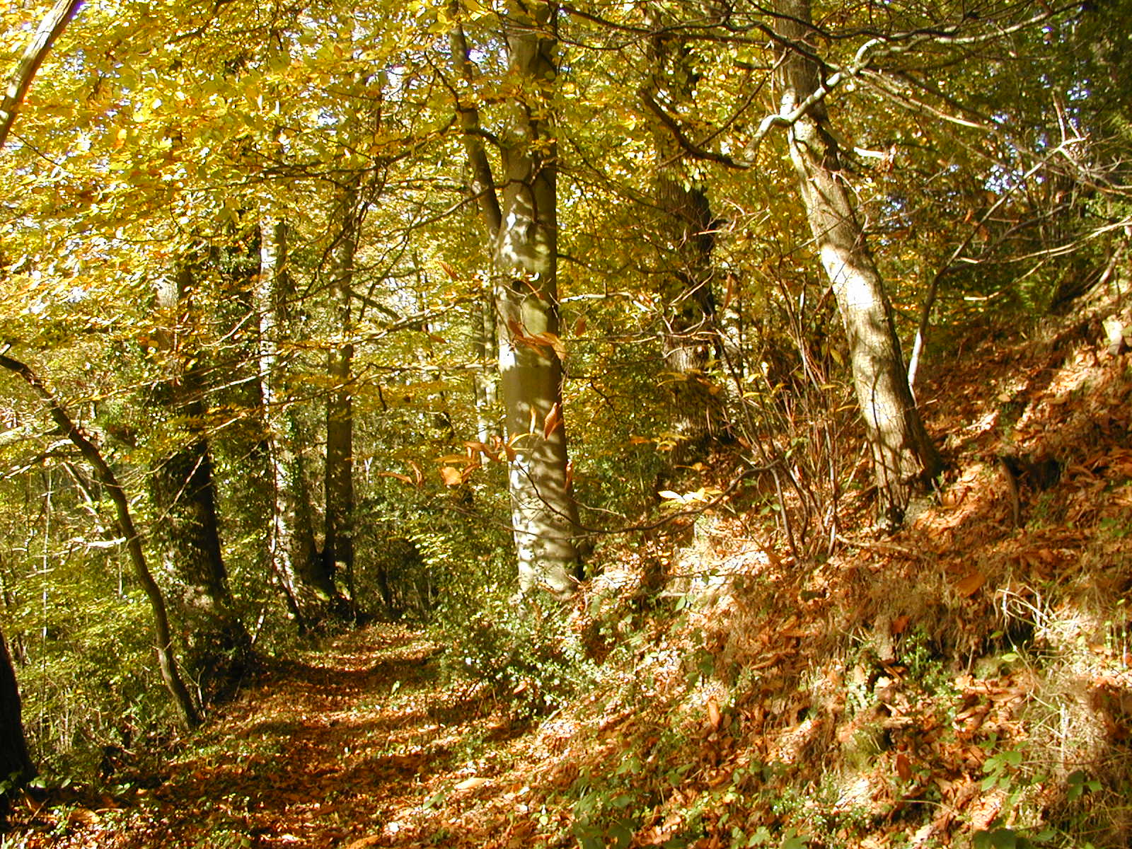 Autumn beeches at Brilley Green Dingle
