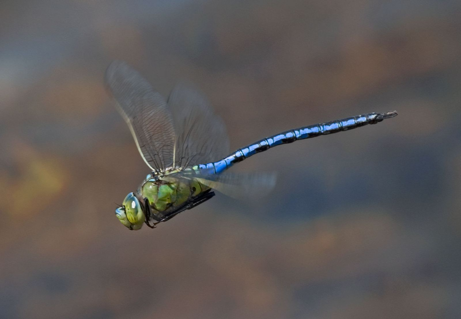 Emperor dragonfly takes to the wing