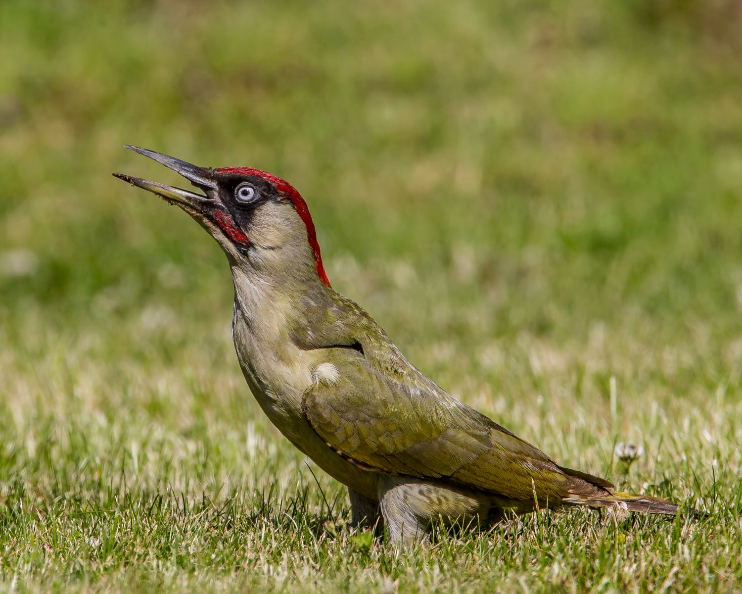 Green woodpecker stands neck outstretched.