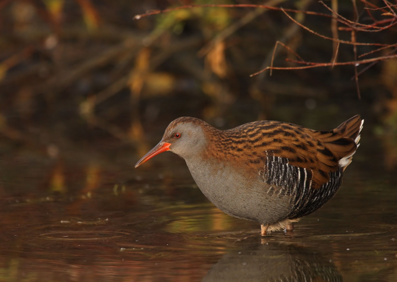 A water rail moves through the water