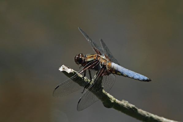 Broad-bodied dragonfly sitting on a twig