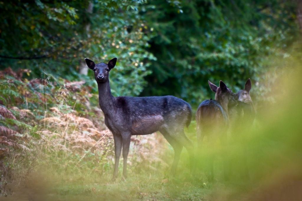 Fallow deer by Mike Bartholomew
