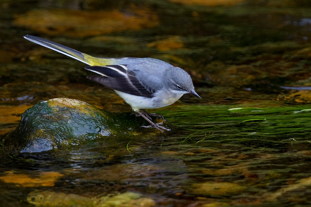 Grey wagtail by Neil Bygrave