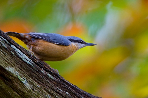 Nuthatch looking left to right along branch