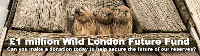 Kestrels by Philip Braude. Can you make a donation today to help secure the future of our reserves?