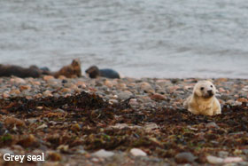 Grey seal pup on a shingle beach