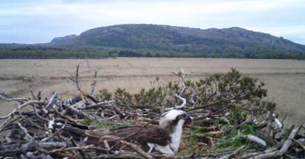 Osprey nesting at Foulshaw Moss nature reserve in 2014