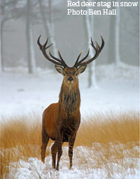 Red deer in snow - copyright Ben Hall